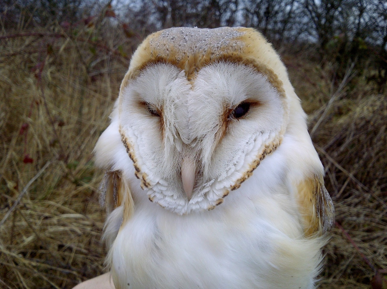 Ethereal and ghostlike the barn owl Tyto alba has goldengrey coloured upperparts and pure white underparts T