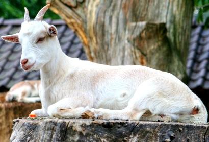 Foto de u a cabra blanca