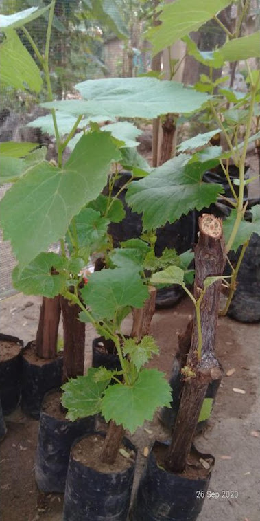 bibit anggur murah batang besar Jawa Timur