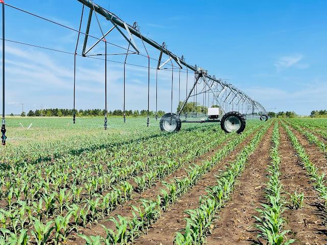 irrigation nutrient management minnesota corn