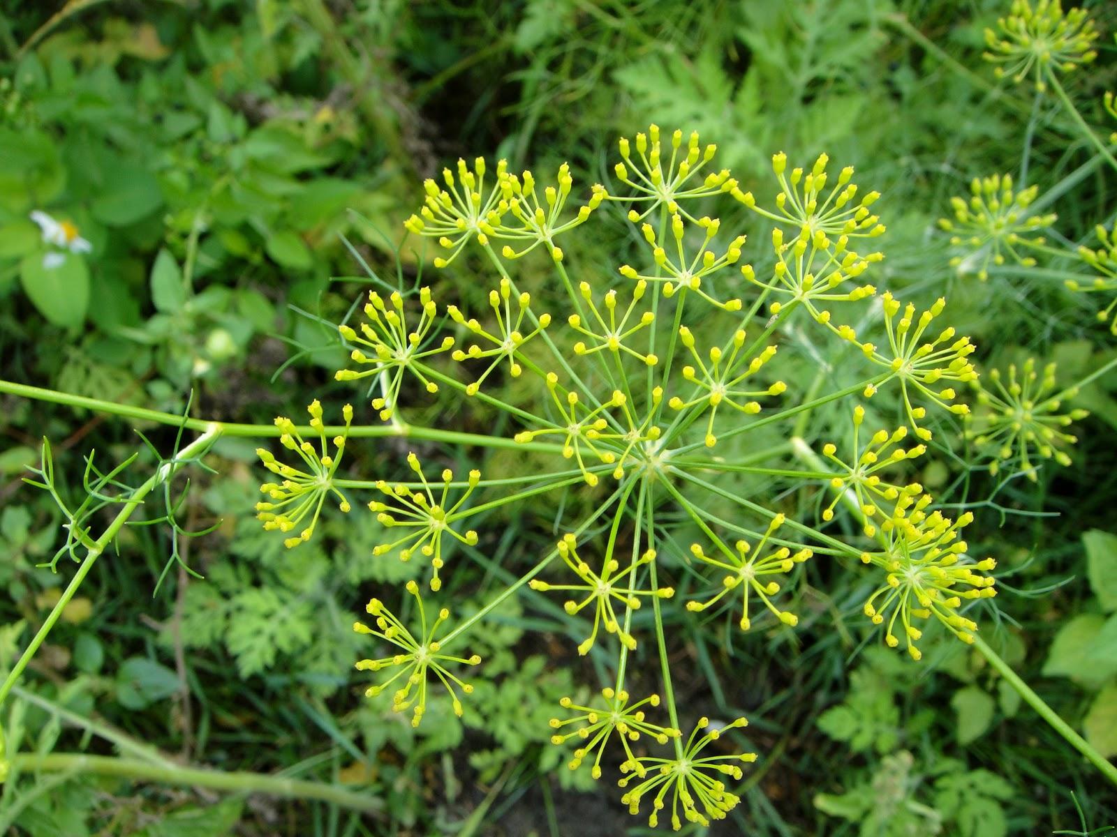 DWAN雲之端: 茴香--屬繖形科植物;學名:Foeniculum vulgare Caertn。英文名:Fennel;別稱:懷香、小茴香、土小茴 ...