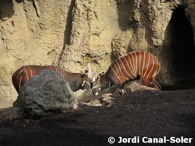 Dos bongos luchando en Bioparc Valencia