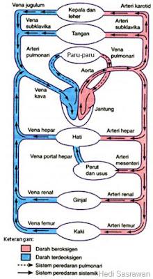 Ilustrasi alur aliran darah manusia