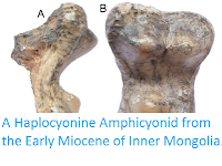 http://sciencythoughts.blogspot.co.uk/2016/04/a-haplocyonine-amphicyonid-from-early.html