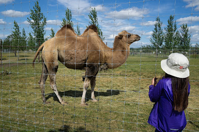 Camel at Discovery Wildlife Park, Innisfail