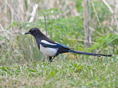 Photo of Black-billed Magpie foraging on the ground