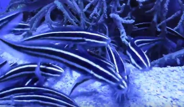 Μεγάλος συναγερμός στις Ελληνικές Αρχές για το για το ψάρι με το θανατηφόρο άγγιγμα (ΒΙΝΤΕΟ)