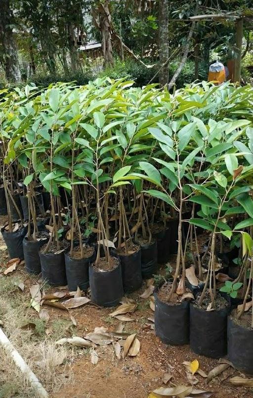 bibit durian kaki 3 bawor okulasi cepat berbuah Bangka Belitung