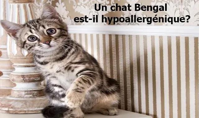 Un chat Bengal est-il hypoallergénique