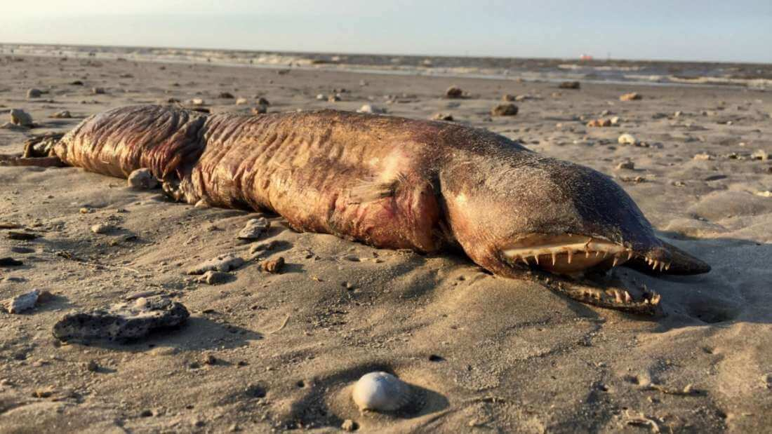Terrifying Prehistoric Fish Was Discovered On Texas Beach Post-Harvey