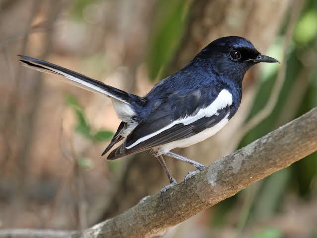 The Oriental Magpie Robin