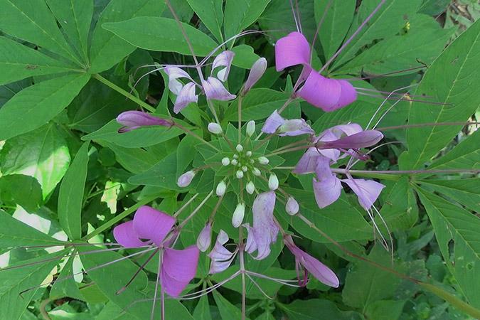Dlium Showy spider flower (Cleoserrata speciosa)