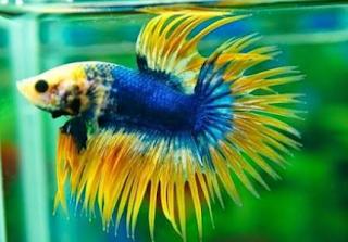Gambar dan cara budidaya ikan cupan