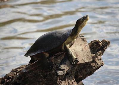 Habitat & karakteristik Fitzroy River Turtle