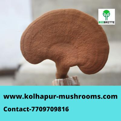 Ganoderma Mushroom Spawn Exporter