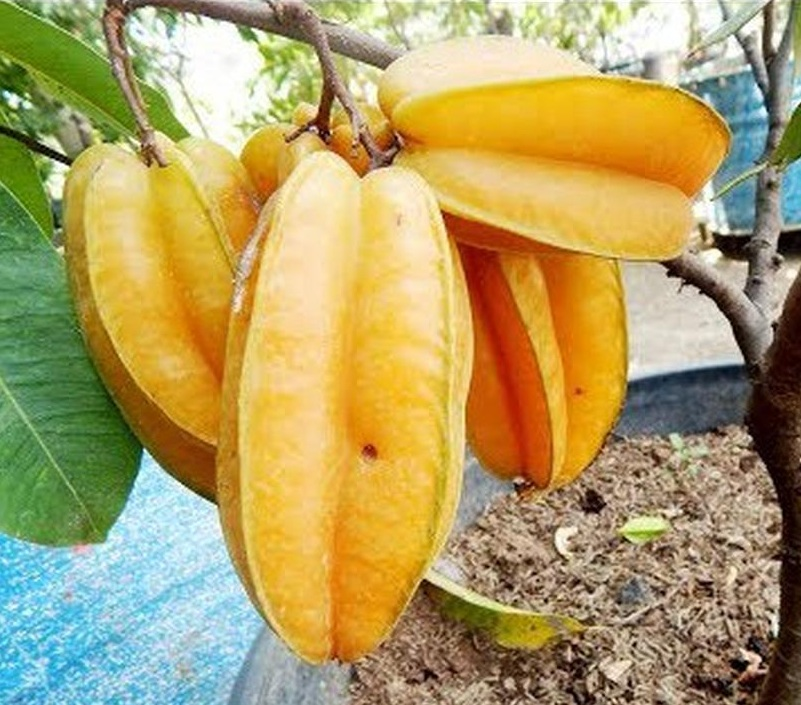 benih buah belimbing super manis 12 seed Padangpanjang
