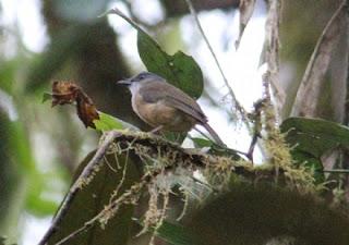 Burung Kancilan Karat