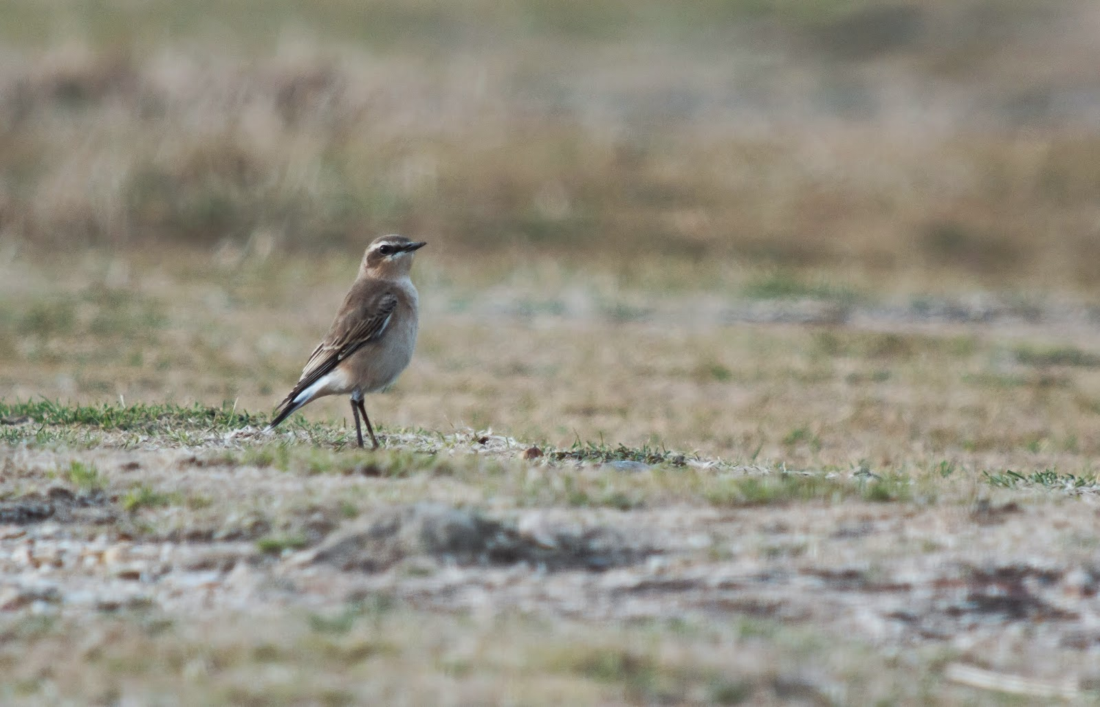 Wheatear, Pennington Marsh - SImon Colenutt