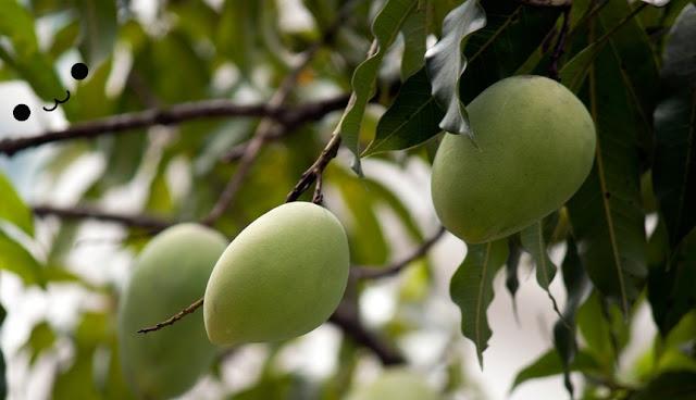 Tanaman buah mangga