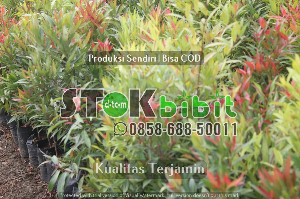 Bibit Durian Merah Banyuwangi Kini Bisa Di Beli Di Purworejo Jawa Tengah    berkualitas     terjamin