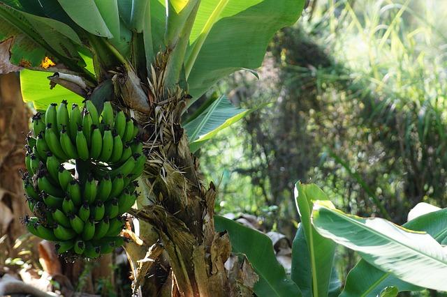 gambar tanaman pisang