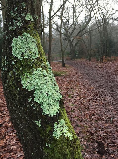 Oak with Flavoparmelia caperata.  Hayes Common, 30 December 2016.