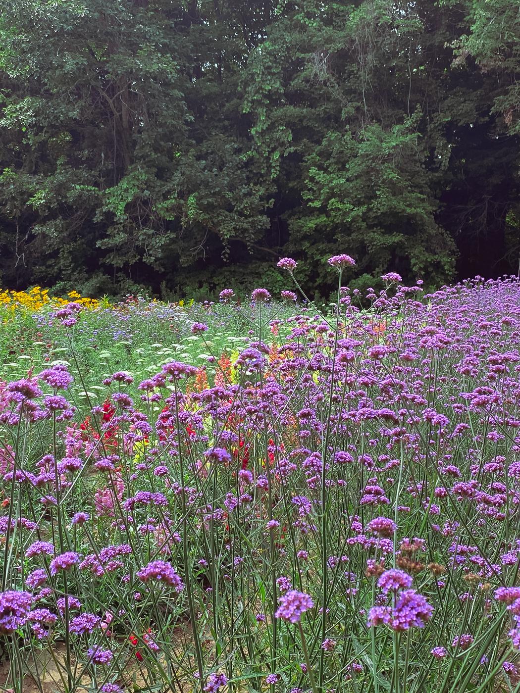 Verbena, purpletop vervain, summer garden flowers, blooming flowers, summer flowers that bloom
