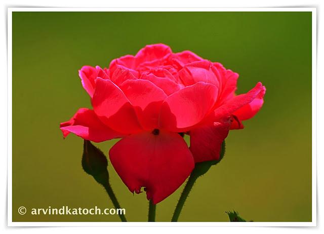 Red Roses, Rose, flower,