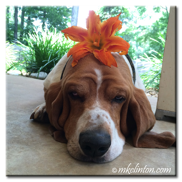 Basset Hound with day lily on his head