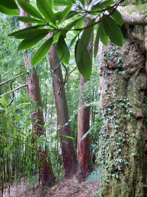 Jungle trees at Lost Gardens of Heligan, Cornwall