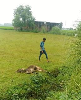 खेत में करंट से मर गया मवेशी, बाल—बाल बचा चरवाहा   #NayaSaberaNetwork