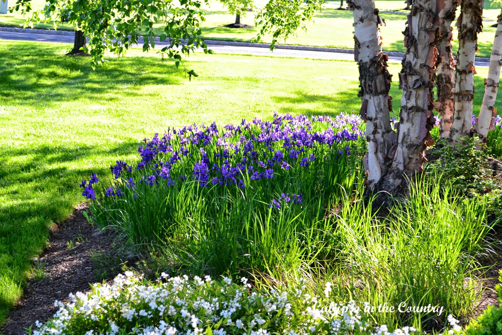 Purple Irises in bloom