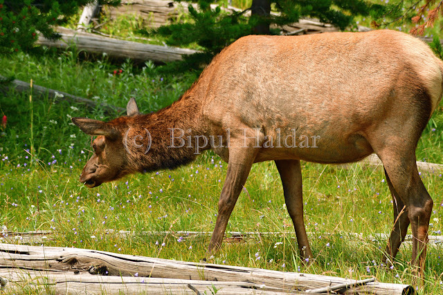 Yellowstone Elk (cow) Munching on Grass