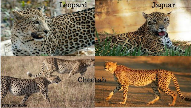 how is a cheetah different from jaguar and leopard ?? | witty scribble