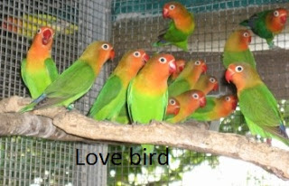Beternak burung love bird bagi pemula ini cocok untuk usaha sampingan dan hobi