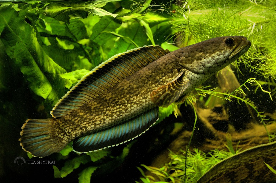 Channa torsaensis Cobalt Blue - 50 Jenis Ikan Channa Beserta harga terbaru