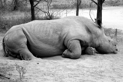 South Africa, Kruger National Park, rhino, rhinoceros, rhino poaching