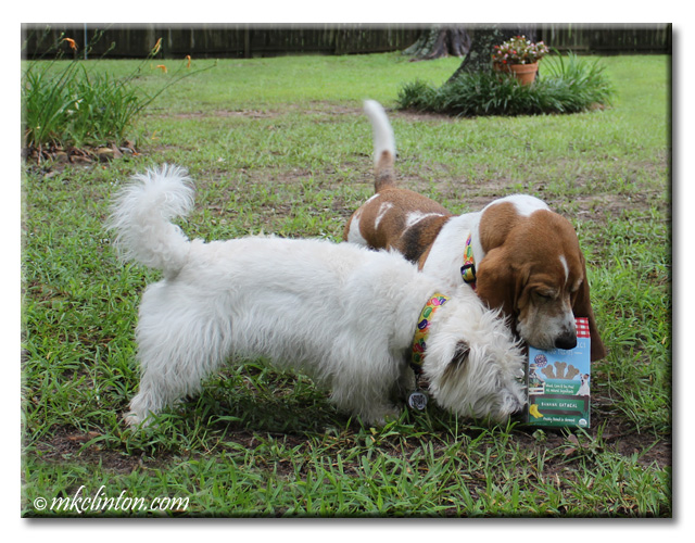 Bentley Basset & PIerre Westie trying to break into box of dog treats