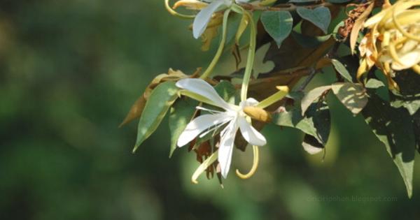 Bayur (Pterospermum javanicum)