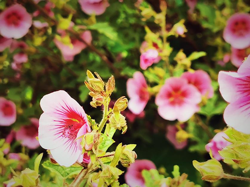 Flor de Manuka, Nova Zelândia.