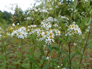 Aster à ombelles - Doellingeria umbellata - Aster umbellatus