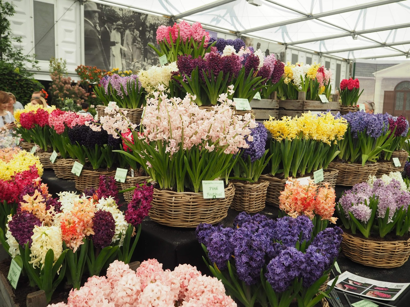Floral Marquee, Chelsea Flower Show 2017, hyacinths
