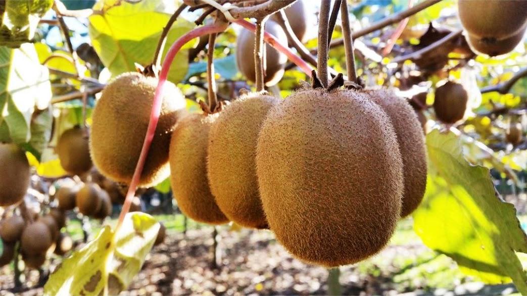 Benih Bibit Buah Kiwi Haira Seed Kepulauan Riau