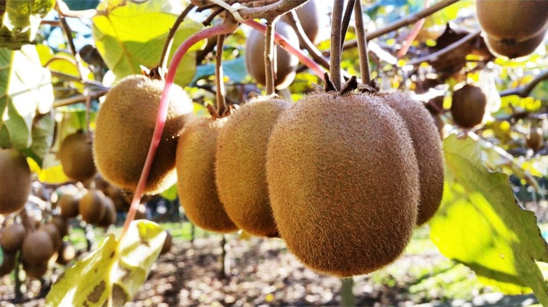 Benih Bibit Buah Kiwi Haira Seed Pontianak