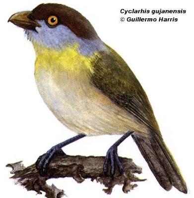 Juan chiviro Cyclarhis gujanensis