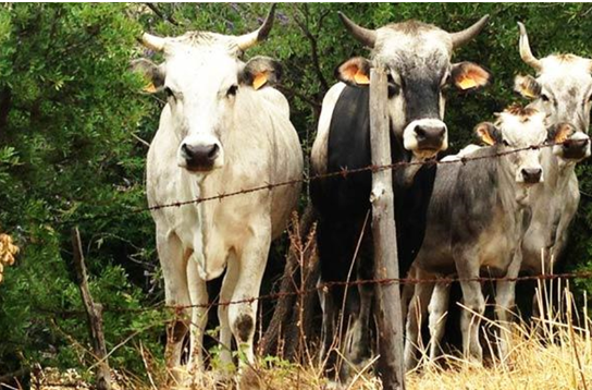 """Monte Sant'Angelo (FG): """"Stato Brado"""". I Carabinieri sequestrano 80 capi di bestiame. Vacche, utilizzate per l'affermazione di potere territoriale dei """"soliti noti""""."""