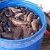 """Αστακός: Ψαράς αλίευσε 7.000 είδη ολοθούριων στη περιοχή """"Χοβολιό"""""""