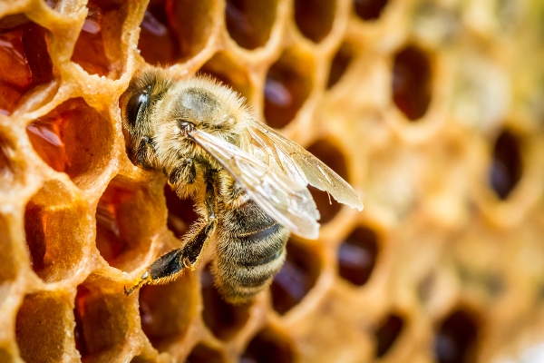 PROPOLIS, A MIRACLE OF NATURE