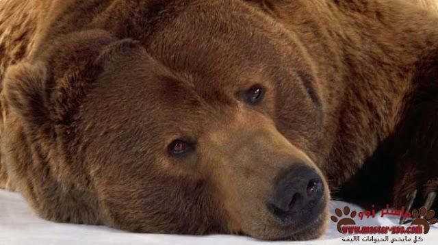 الدب البنى وانواعه بالصور