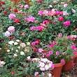 Are Rose Container Gardening Easy to Take Care of? ~ Gardening Tutorials
